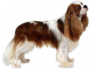 ... španěl (Cavalier King Charles Spaniel) Lebku má mezi ušima téměř  plochou 48647212eb